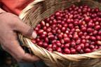Honduran coffee berries