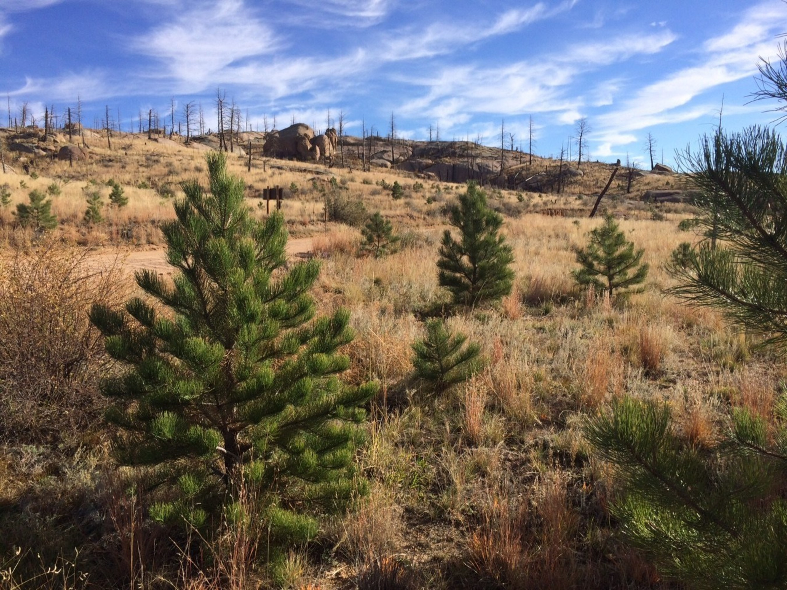 During the last decade, the Enterprise 50 Million Tree Pledge has supported more than 80 reforestation projects and planted more than 50 different species of trees across 15 states. Pictured is an example of a ten-year-old tree from Pike National Forest.