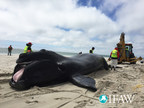 Endangered right whale found dead in Cape Cod waters - necropsy in progress to find cause of death.
