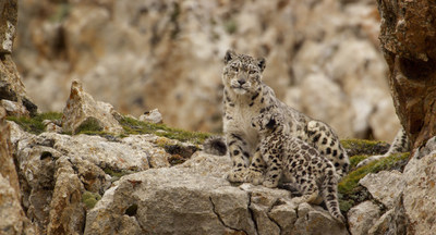 Disneynature Born in China Snow Leopard Family