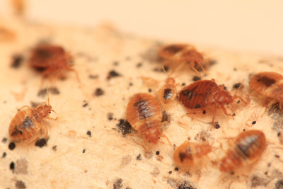 Chicago tops Orkin's 2016 list of bed bug cities for the 4th year in a row. The list ranks cities by the number of bed bug treatments Orkin serviced from January through December 2015 and after an Orkin inspection verified bed bugs were present. The list includes both residential and commercial treatments.  (PRNewsFoto/Orkin, LLC)