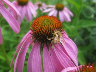 A honeybee works a purple coneflower, one of the native wildflower species included in the Feed A Bee bulk seed mix provided by Ernst Conservation Seeds.