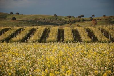 Querciabella vineyards in Maremma with biodynamic cover crops in full bloom.