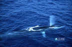 A win for whales and a blow against Japan's 'scientific' whaling at the International Whaling Commission