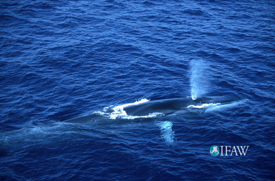 IFAW: A win for whales at the International Whaling Commission