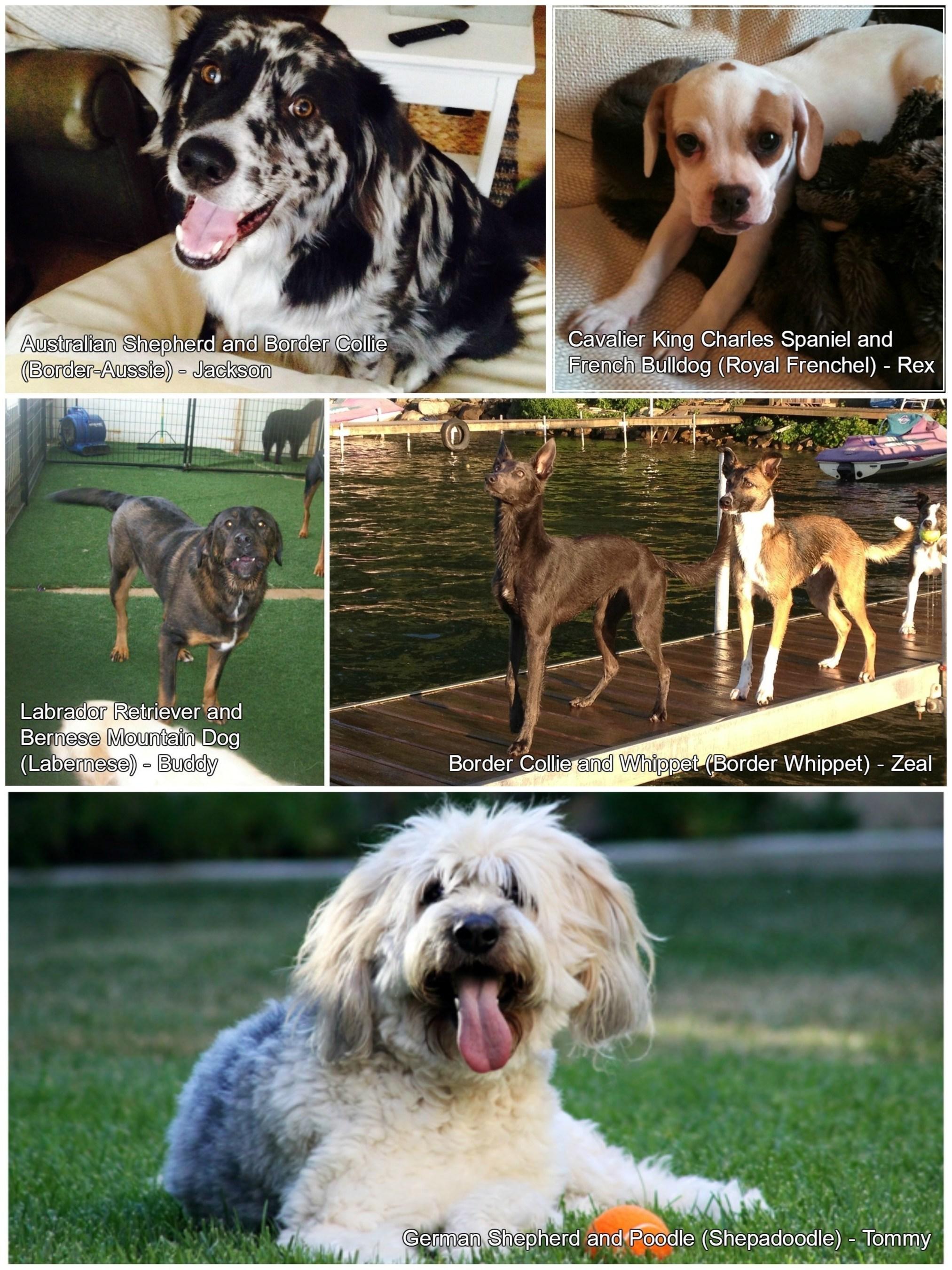 Farmers Insurance & Pets Best Reveal Top 5 Hybrid Dog Breeds