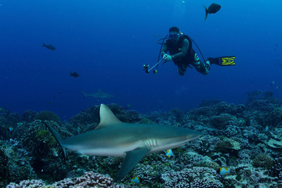 Sharks are worth more alive than dead: A new global analysis finds shark ecotourism, like diving, is a major economic driver for dozens of countries, generating $314 million annually. The Pew Charitable Trusts says shark sanctuary declarations can protect sharks and the global ecotourism industry and country-specific sites. Credit: Shawn Heinrichs/Pew