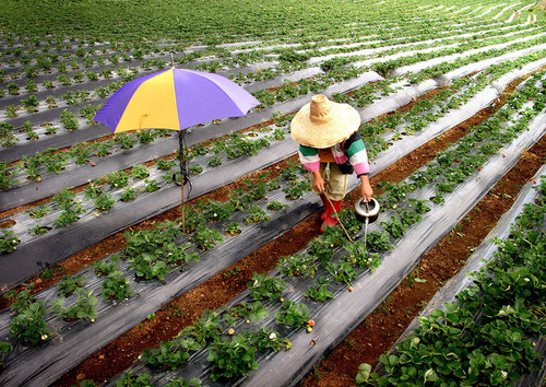 Strawberry Farm, by Samuel de Leon, CGAP Photo Contest.  (PRNewsFoto/CGAP)