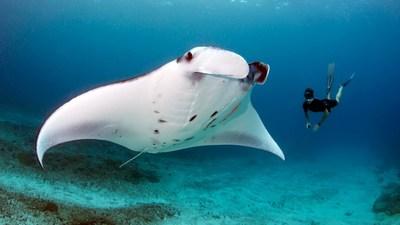 La Reina de las Mantarrayas - Dia Nacional de la Vida Salvaje (National Wildlife Day)