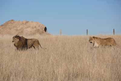 Rescued Lions From Uruguay.