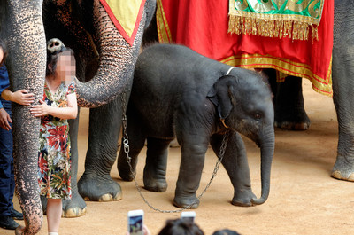 An elephant used in the tourism industry in Thailand. World Animal Protection believes that wild animals should remain in the wild and not be used for entertainment.