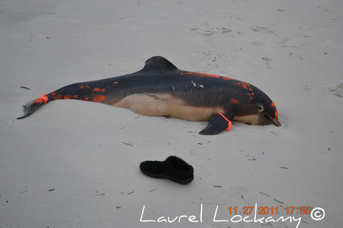 In the wake of BP's Gulf of Mexico oil disaster, a dead dolphin lies on a Mississippi beach.  Photo by Laurel Lockamy.  (PRNewsFoto/TCCI)