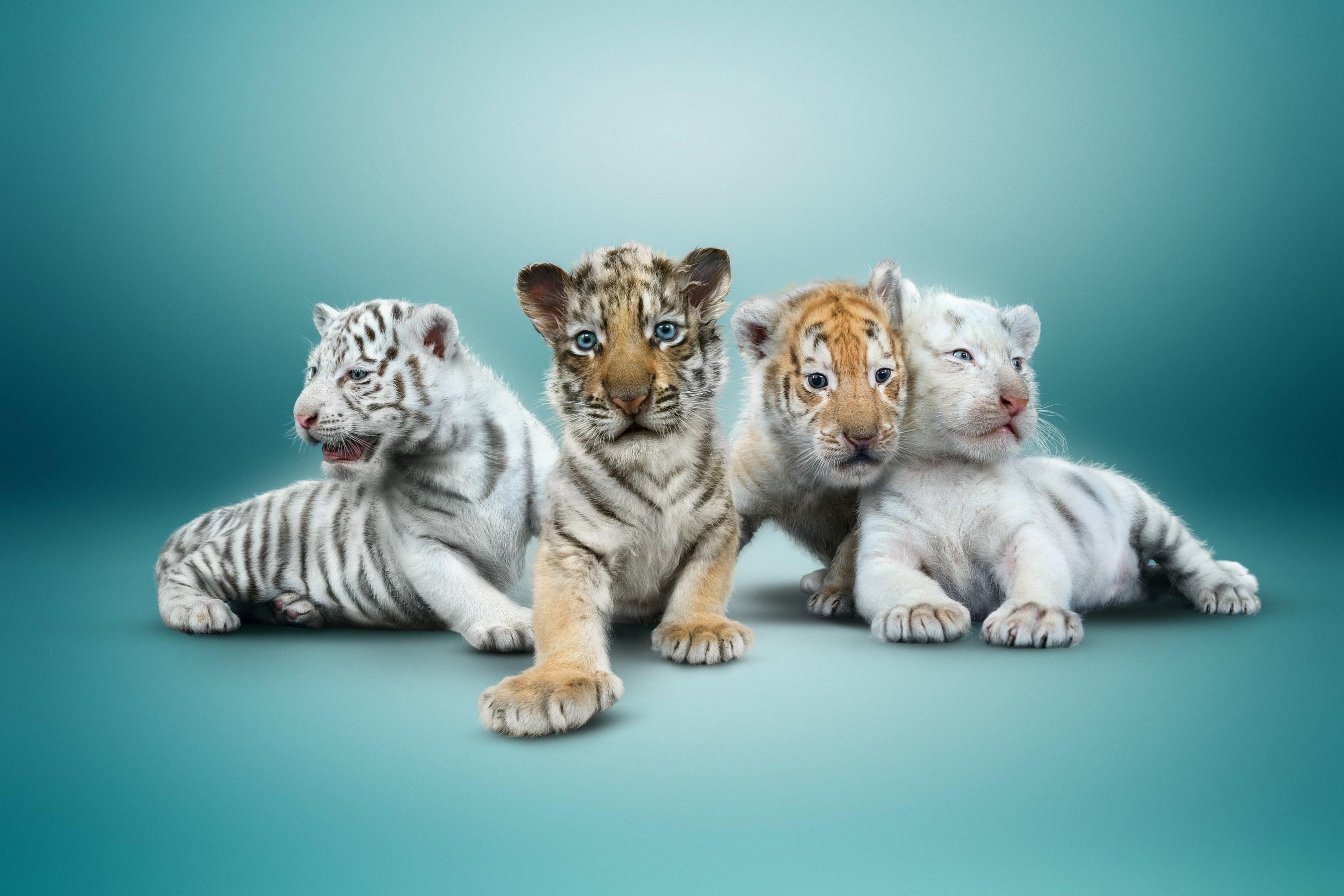 Siegfried und Roy heißen vier Tigerjunge in ihrem Zuhause im Mirage willkommen Liberty, Justice,