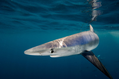 Blue shark - European Parliament votes overwhelmingly in favour of closing all loopholes in EU shark finning ban. (C)Shark Alliance.  (PRNewsFoto/Pew Environment Group)