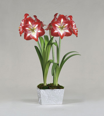 A blooming duo of Grand Trumpet Minerva Amaryllis