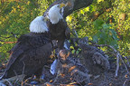 "DC2 & DC3, the two adorable Bald Eaglets watched daily by hundreds of thousands of viewers on www.dceaglecam.org, are now named ""Freedom"" & ""Liberty."" Over 36,000 votes were submitted and this name pair won by more than a third of the votes. Photo Copyright American Eagle Foundation 2016"