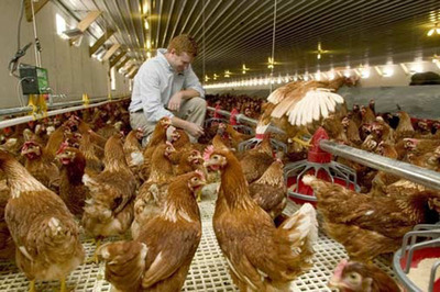 Cage free / barn-raised - 1.5 sq. ft / bird. (PRNewsFoto/Humane Farm Animal Care) (PRNewsFoto/HUMANE FARM ANIMAL CARE)