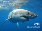 EdX, Cornell University, and University of Queensland to Offer First Shark-Focused Massive Open Online Course (MOOC)