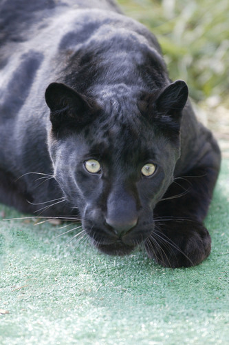 Rescued Black Leopard at The Wild Animal Sanctuary.  (PRNewsFoto/The Wild Animal Sanctuary)