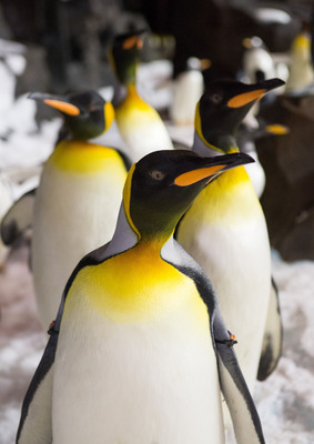 Orlando, Fla. (May 24, 2013) -- Like humans, penguins find strength in numbers.  Strong family and colony bonds help penguins raise chicks in some of the harshest habitats on Earth.   Guests to Antarctica:  Empire of the Penguin(TM) will get close to nearly 250 penguins in a chilly 30-degree habitat.  Antarctica:  Empire of the Penguin(TM) is a first-of-its-kind, family adventure ride, combining innovative, trackless ride technology and up-close encounters with a huge colony of penguins and opens at SeaWorld Orlando on May 24, 2013.   (PRNewsFoto/SeaWorld Parks & Entertainment)