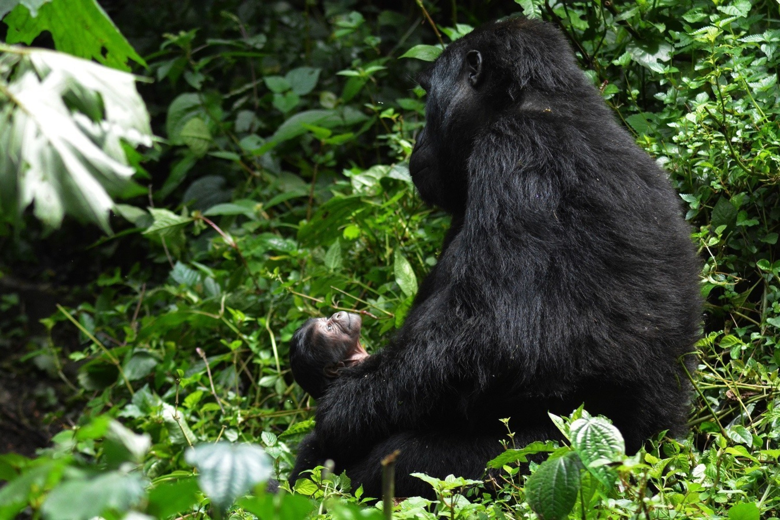 """Uganda's newest mountain gorilla, named """"Masiko"""" or """"Hope"""", was born in Bwindi Impenetrable National Park in late September. Uganda is home to approximately 480 mountain gorillas, more than half the world's remaining population."""