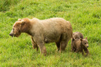 A mother sow with her two cubs of the year. Photo Credit: Lisa Hupp/USFWS