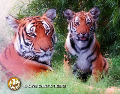 The Save China's Tigers team is celebrating this young lady's 5th month on the planet.  Princess' cub is the first third generation cub for the Chinese Tiger Project and was born in wild conditions.