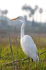 A Great Egret is one of many species of plants and animals that rely on the Ballona Wetlands Ecological Reserve for habitat. Photo by Walter Lamb.
