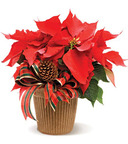 Poinsettia FlowerDeliveryExpress.com.  (PRNewsFoto/Flower Delivery Express)
