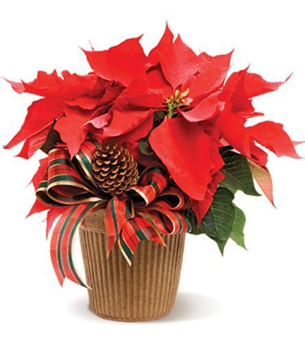 Poinsettia FlowerDeliveryExpress.com.  (PRNewsFoto/Flower Delivery Express)