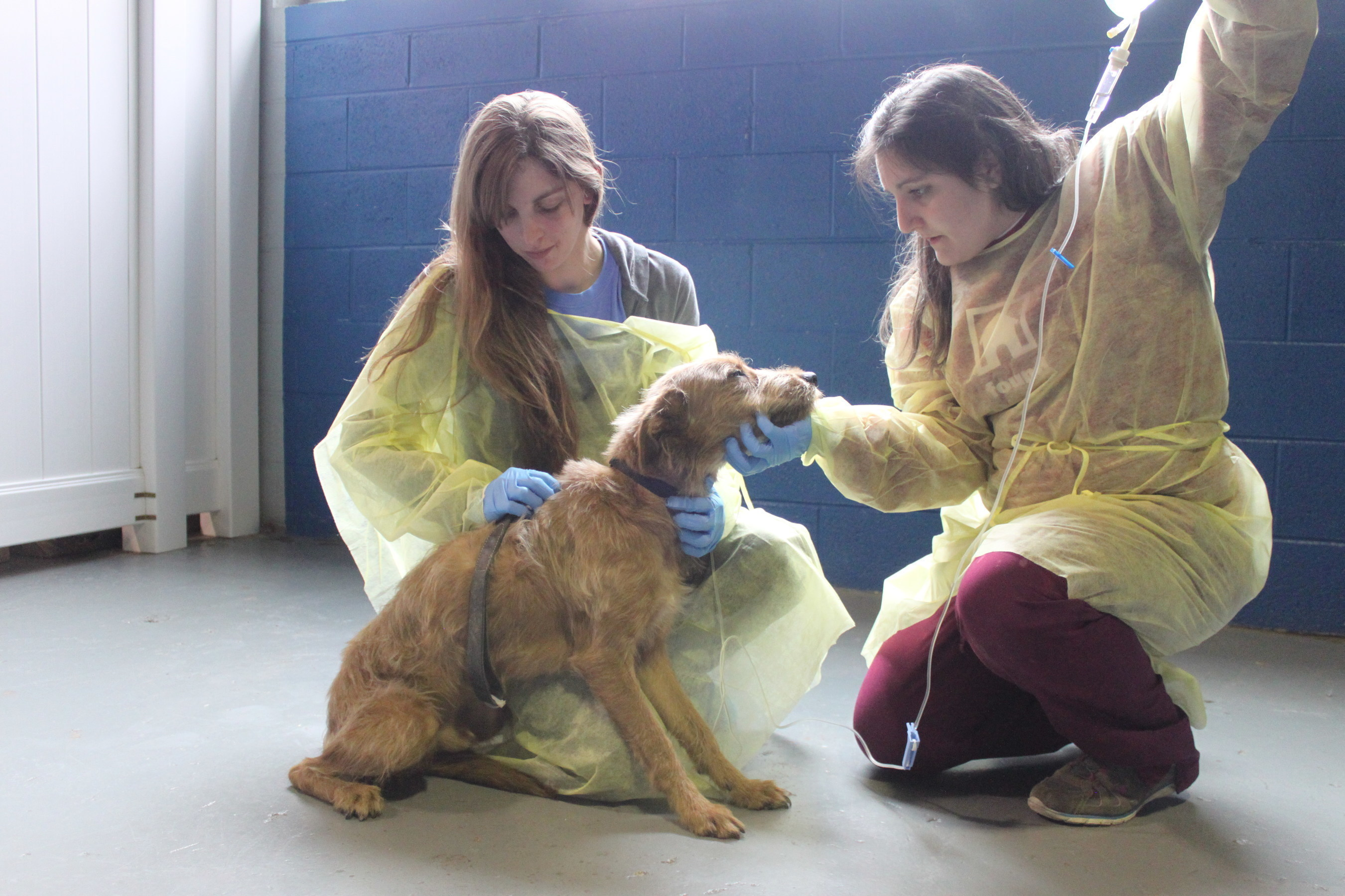 Found Chicago dog rescue staff treat Scrappy for K-9 flu that has infected all but two of the Found dogs