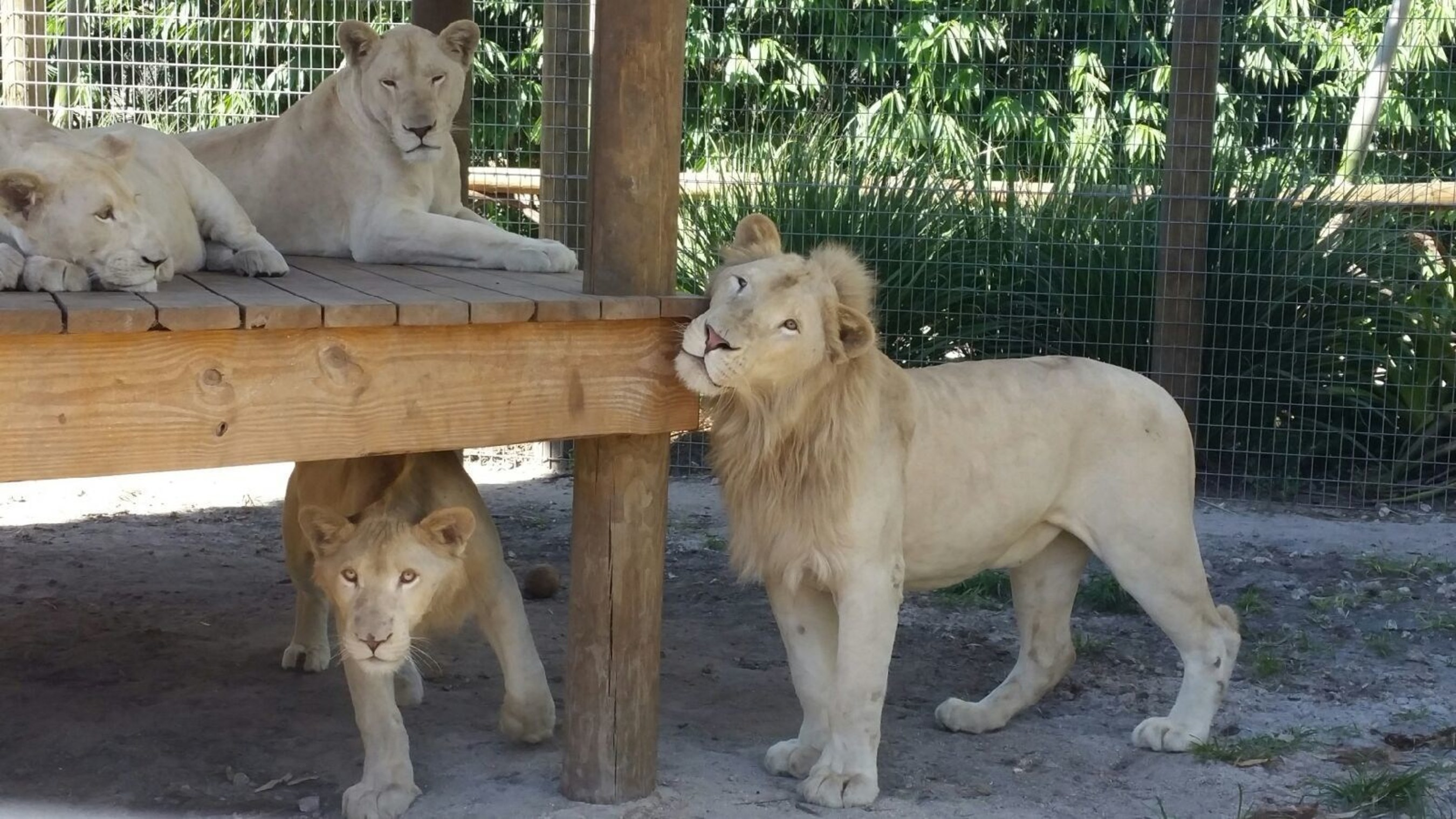 Zoological Wildlife Foundation Shines A Light On White Lion Conservation Efforts