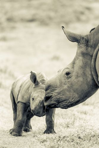 Thandi's horn will now never grow back. (PRNewsFoto/VOICES OF CONSERVATION)