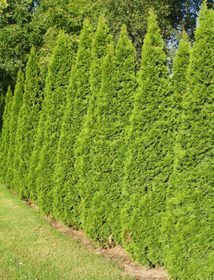 Green Giant Arborvitae is an evergreen tree that gives winter landscapes much-needed color. Plant several in a row to create a natural privacy screen.