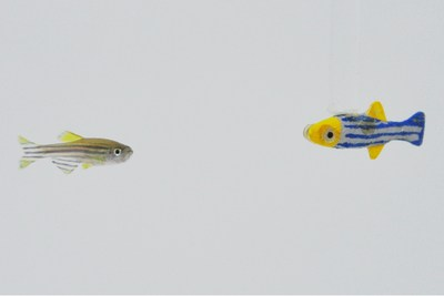 """Working with a new 3D platform that made their biomimetic robot """"swim"""" like a real fish, NYU Tandon researchers found that zebrafish were attracted to the moving 3D models but not to 2D or stationary ones."""