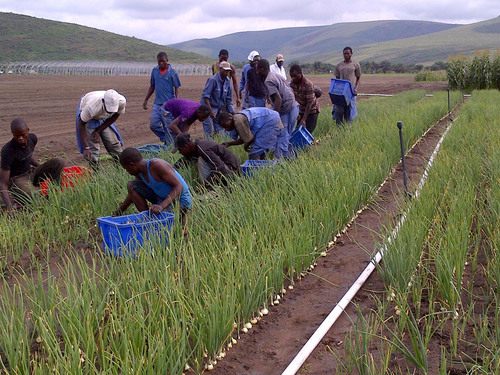 Congolese workers in the fields at Kitoko Food Farm, a joint project of the Gertler Family Foundation (GFF) and  ...