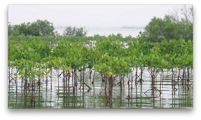 Mangrove forests like the one shown here protect shorelines from damaging storms. These trees are a great example of a natural system that can help communities better protect themselves from natural disasters. A new online guide launched today by the American Society of Landscape Architects (ASLA) provides more examples of resilient landscape planning and design. According to the guide, the goal of resilient landscape planning and design is to retrofit communities to recover more quickly from extreme events, now and in the future. The Resilient Design Guide is found here: https://www.asla.org/resilient