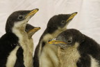 Moody Gardens Anticipates New Penguin Chicks To Hatch For Christmas: Introduces