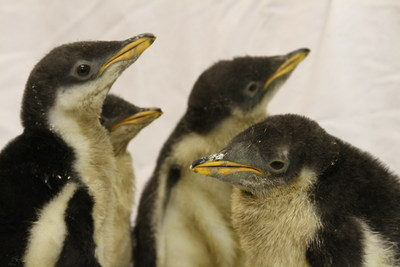 Penguin Watch 2015: Moody Gardens anticipates new penguin chicks to hatch in time for Christmas holiday. Gentoo Penguins like these that hatched in 2014 are expected.at the aquarium located in Galveston, TX