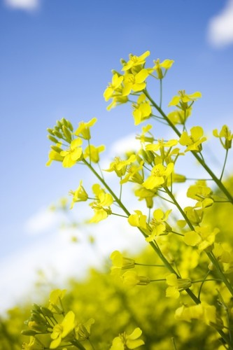 "Canola oil comes from the crushed seeds of the canola plant, which is a member of the Brassica family that includes broccoli, cabbage and cauliflower. Research has shown that the oil's high unsaturated fat content (93 percent) helps lower ""bad"" LDL cholesterol, thereby reducing the risk of cardiovascular disease. (PRNewsFoto/CanolaInfo)"