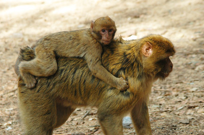 IFAW: No monkeying around for Barbary macaques at CITES (c) Ronald Troostwijk/MPC