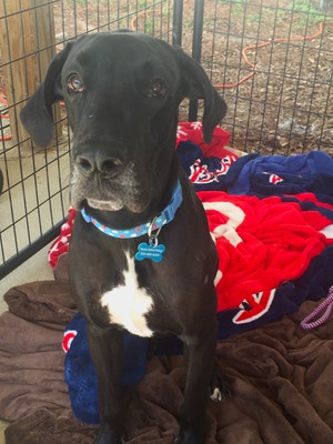 Alaqua Animal Refuge, a no-kill animal shelter located in Northwest Florida, has taken custody of 73 Great Danes that were recently involved in a large scale breeding operation.