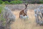 Kangaroo in Gawler Range National Park, South Australia
