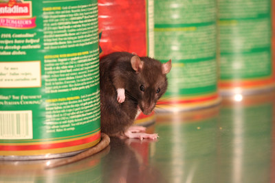 Pest control leader Orkin released its top 20 rattiest cities; Chicago holds no. 1 spot followed by Los Angeles, Washington, D.C., New York City and San Francisco. Orkin experts say while your city may not be ranked high on the list, you should not be any less vigilant. Rodents invade an estimated 21 million American homes each fall. (PRNewsFoto/Orkin, LLC)