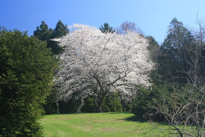 A Yoshino Cherry tree in full bloom at the Taylor Arboretum at Widener University.