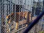 """""""Tony"""" the Tiger paces in his cage near fuel pumps.  (PRNewsFoto/The Wild Animal Sanctuary)"""