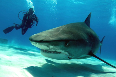 Dr. Guy Harvey filming a tiger shark off of Tiger Beach, West End, The Bahamas.  (PRNewsFoto/The Pew Environment Group)