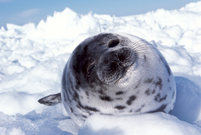 Harp seal pups like the one pictured here are still hunted commercially in Atlantic Canada. News came today that the import of seal products from commercial hunts will remain illegal throughout the European Union. (C) IFAW/S. Cook.