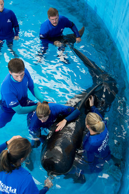 The SeaWorld Rescue Team uses its expertise and creativity to devise new ways to rescue, treat and return animals to nature. They are performing hands-on physical therapy on a once-stranded pilot whale. The whale has scoliosis, or curvature of the spine, that developed approximately five weeks after her rescue and prevents her from swimming normally. The physical therapy, performed three times a day, includes stretching the whale's muscles and working her tail fluke up and down. It's hoped the therapy sessions will allow her to regain proper and more normal use of her tail.  SeaWorld Parks & Entertainment. Orlando, Fla.  (PRNewsFoto/SeaWorld Parks & Entertainment, Jason Collier)