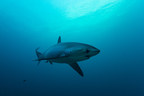 Pew Commends New Shark and Ray Trade Regulations